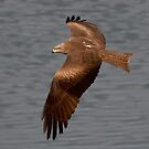 Black Kite by David Freeman