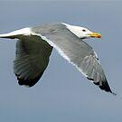 Seagull by David Freeman