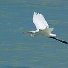 Intermediate Egret in Flight, Broome, Western Australia by Adrian Paul