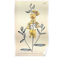 The Botanical magazine, or, Flower garden displayed by William Curtis V13 V14 1799 1800 0136 Crotalaria Juncea Channelled Stalked Crotalaria Poster