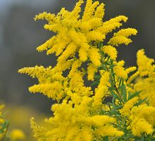 The Yellow Wattle by Brandie1
