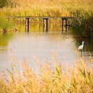 A Royal Spoonbill wades in the Greenfields Wetlands by Elana Bailey