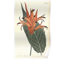 The Botanical magazine, or, Flower garden displayed by William Curtis V13 V14 1799 1800 0160 Heliconia Psittacorum Parrot Beaked Heliconia Poster