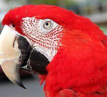 Red Macaw by Ramír Delgado