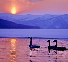 Swan, Hokkaido, Japan by yoshiaki nagashima