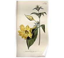 The Botanical magazine, or, Flower garden displayed by William Curtis V9 V10 1795 1796 0111 Allamanda Cathartica Willow Leaved Allamanda Poster
