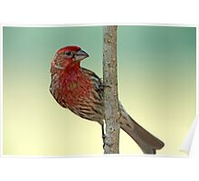 House Finch on a branch  Poster