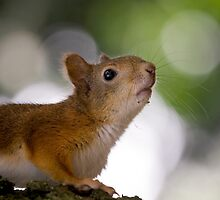 Red Squirrel Princess by Sergey Bezberdy