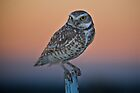 Burrowing Owl at Dusk by Kathleen  Bowman