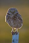 Burrowing Owl at sunset by Kathleen  Bowman