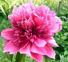 Peony--just for you! by Ana Belaj