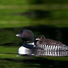 Common loon with chick by Jim Cumming