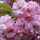 Spring  Pink Blossoms  by eoconnor