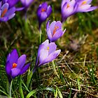 Spring purple flower by Reggina