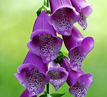 Foxglove (Dalmation Purple) by T.J. Martin