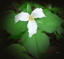 Trillium of Ontario by Rosemary Sobiera