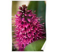 Purple Hebe Flower Poster