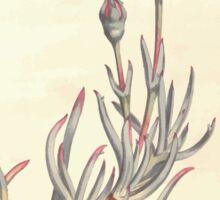 The Botanical magazine, or, Flower garden displayed by William Curtis V11 V12 1797 1798 0077 Mesembryanthemum Spectabile Shewy Fig Marigold Sticker