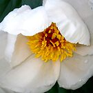 Tender New White Peony by Betty Mackey