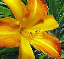 Warm Golden Daylily by Betty Mackey