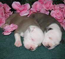 AMERICAN PIT BULL TERRIER PUPPIES - YORK KENNELS - GINNY YORK by Ginny York