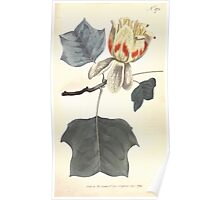 The Botanical magazine, or, Flower garden displayed by William Curtis V7 V8 1794 0126 Liriodendron Tulipifera, Common Tulip Tree Poster