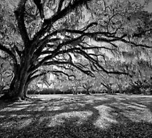 Moss-Draped Oaks in Black and White by Bonnie T.  Barry