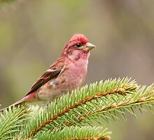 Male Purple Finch 2 by Stephen Stephen