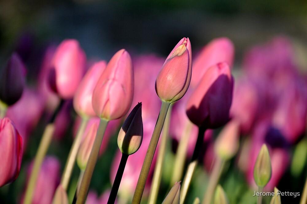 Purple Tulips by Jerome Petteys