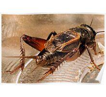 Crickets Backside Poster