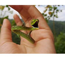 Green Vine Snake Photographic Print