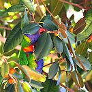 rainbow lorikeet no matter where you hide I'll find you  by Grandalf