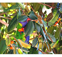 rainbow lorikeet no matter where you hide I'll find you  Photographic Print