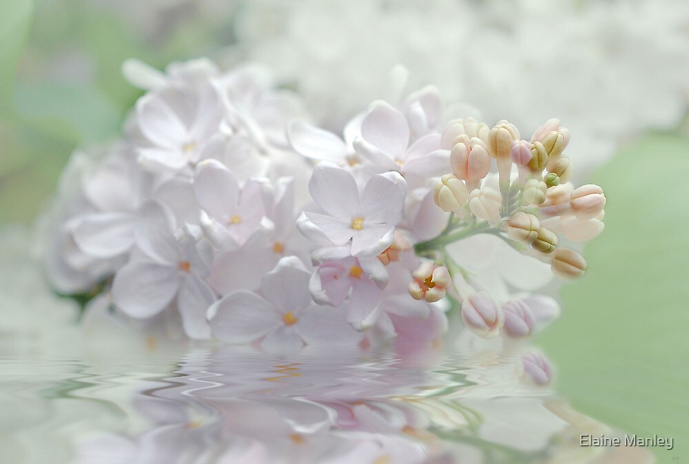 White Lilacs by Elaine  Manley