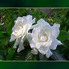 Gardenia by Ginny Schmidt