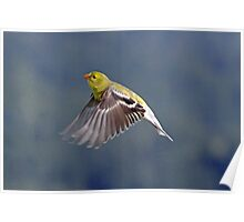 Female Gold Finch in Flight Poster
