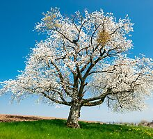 blossoming tree in spring by peterwey