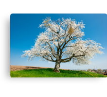 blossoming tree in spring Canvas Print