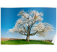 blossoming tree in spring Poster