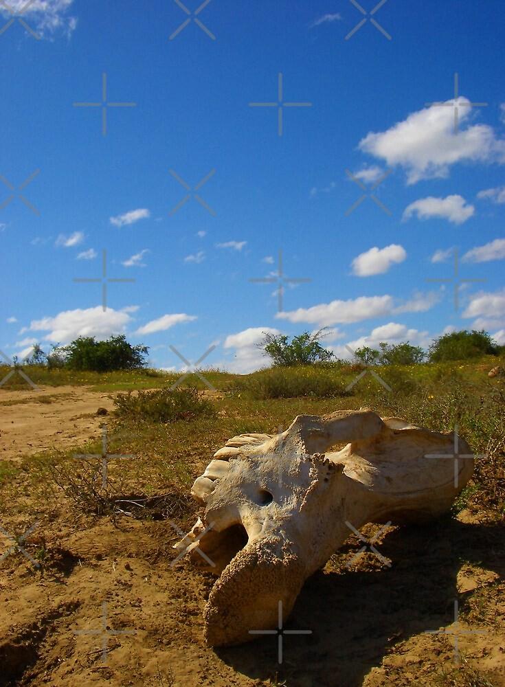 Rhino/elephant skull, South Africa by SweetLemon