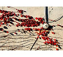 Vines & Red Leaves Photographic Print