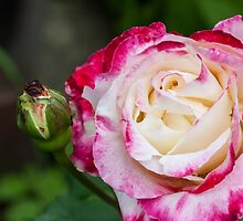 Rose Love  by Keith Vander Wees