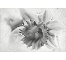 Daffodil flower Photographic Print