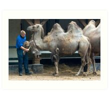 Zoo keeper - Cleaning up the camels Art Print