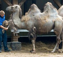Zoo keeper - Cleaning up the camels by steppeland