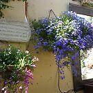 Hanging basket of lobelia  by joycee