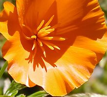Eschscholzia Californica - California Poppy by Cupertino