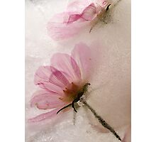 Frozen Pink Cosmos Photographic Print