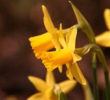 Daffodils by CharmPhotos