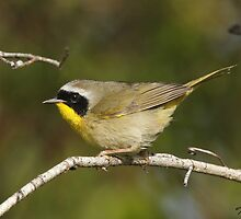Male Common Yellowthroat Warbler 01 by DigitallyStill